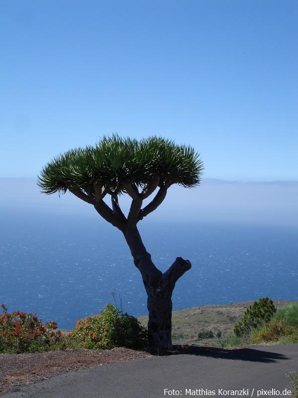 Ein Drachenbaum