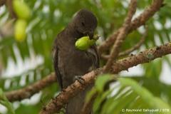 Nur selten zu sehen: der schwarze Papagei lebt im Vallée de Mai