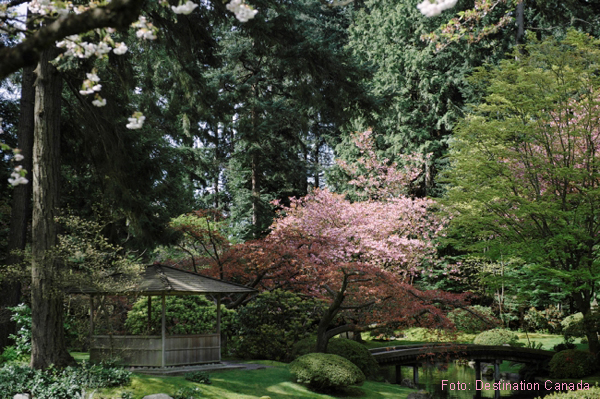 Kirschblüten im UBC Nitobe Memorial Garten in Vancouver
