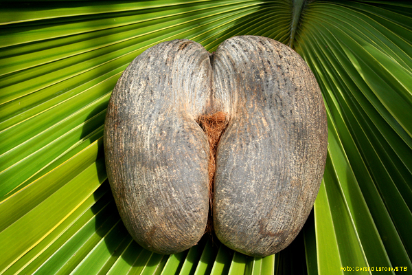 Eine Frucht, die die Phantasie anregt: die Coco de Mer