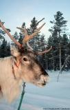 Ein Rentier - nichts Ungewöhnliches in Rovaniemi